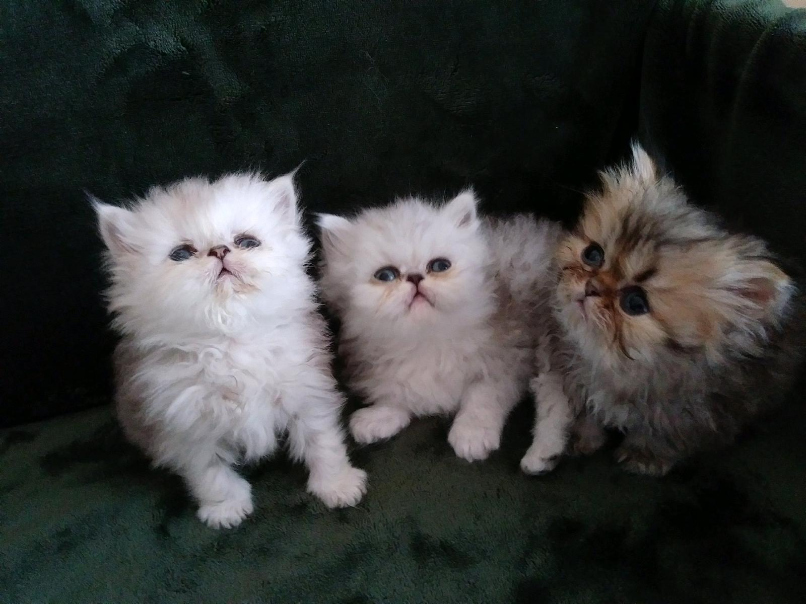 Teacup Persian Kittens for sale – Forest View Cattery